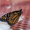 2010 Monarch Butterflies :