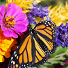 2011 Sept.14 Monarch Butterfly :